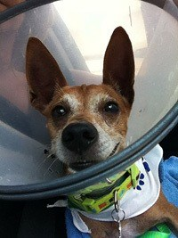 Ringo's caregiver used RedRover's resource directory and advice to secure funding for his urgent veterinary care.